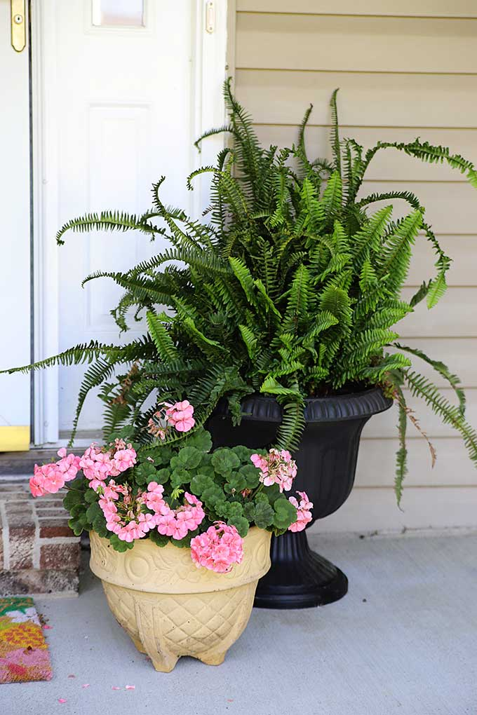 Kimberly Queen porch fern in an urn