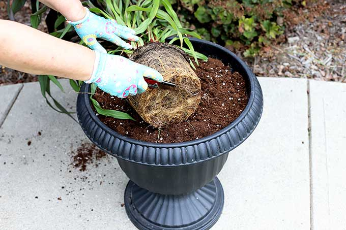 Cutting root ball to replant plants.