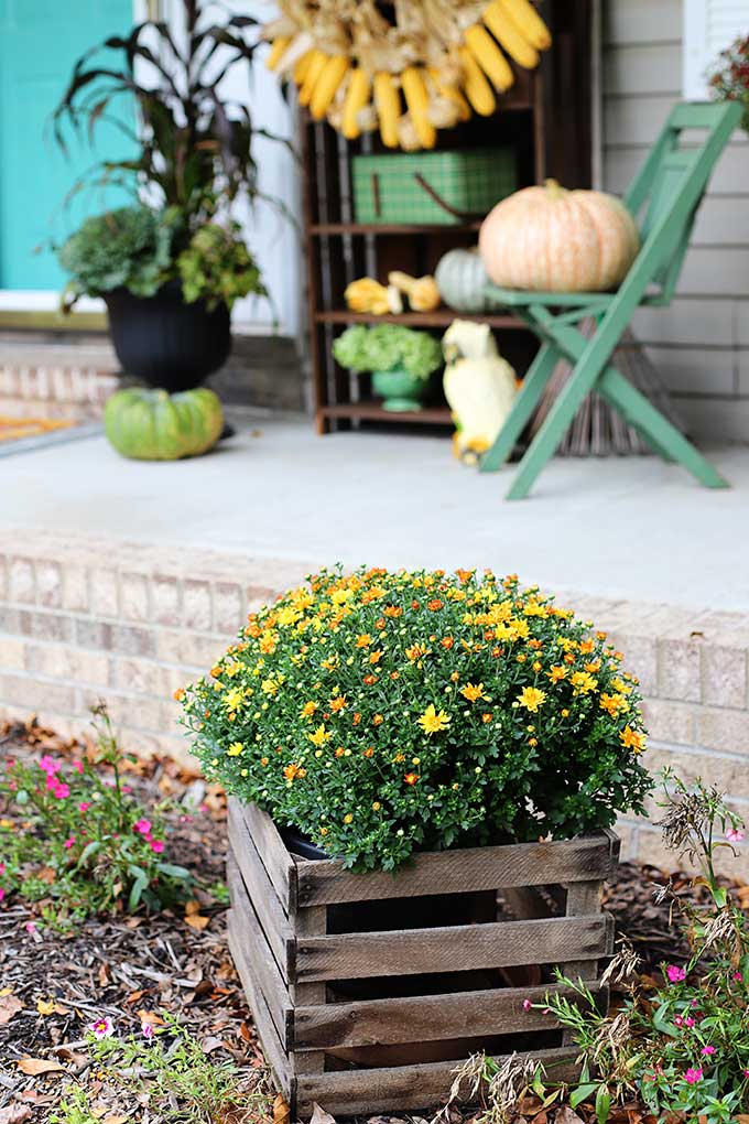 Mums in a wooden crate for outdoor fall decor.