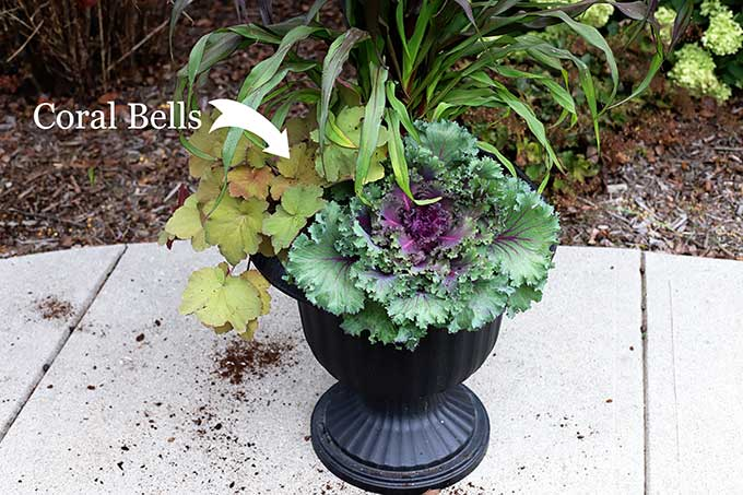 Mega caramel coral bells for fall outdoor planter.