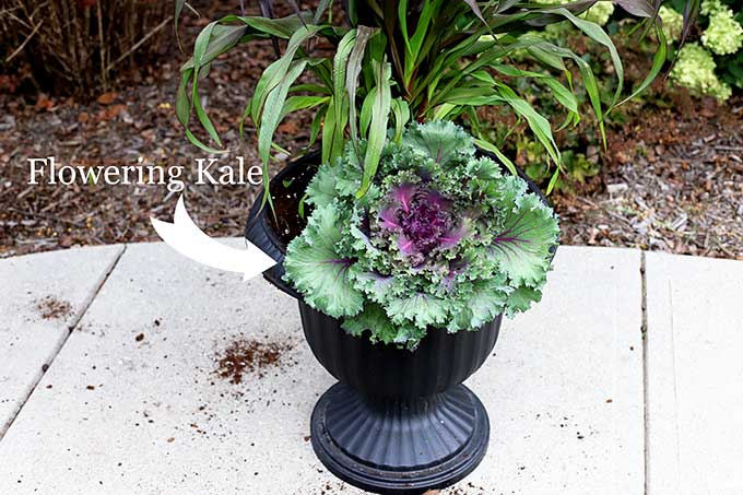 Flowering kale for fall outdoor planter.