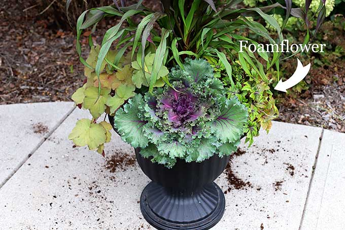 Sugar and Spice foamflower for fall outdoor planter.