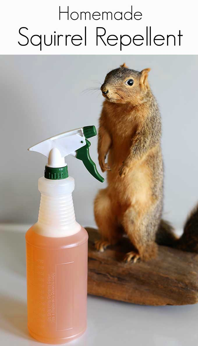 Homemade squirrel repellent recipe house of hawthornes - How to keep squirrels away from garden ...