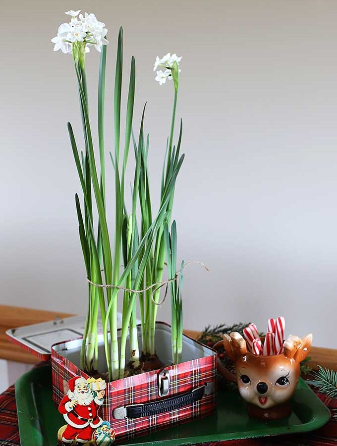 Forcing Paperwhites For Christmas