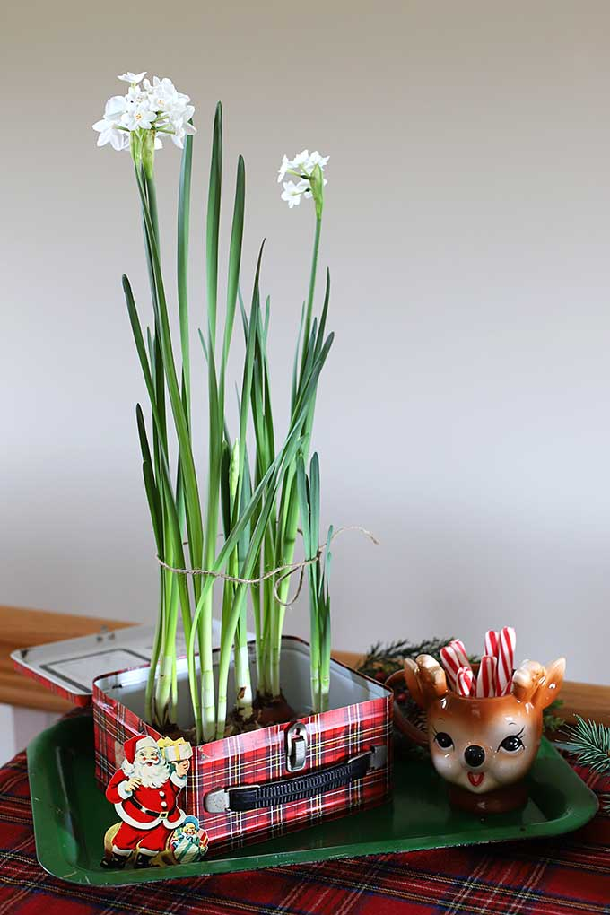 Paperwhites grown in a vintage plaid lunchbox for Christmas decor