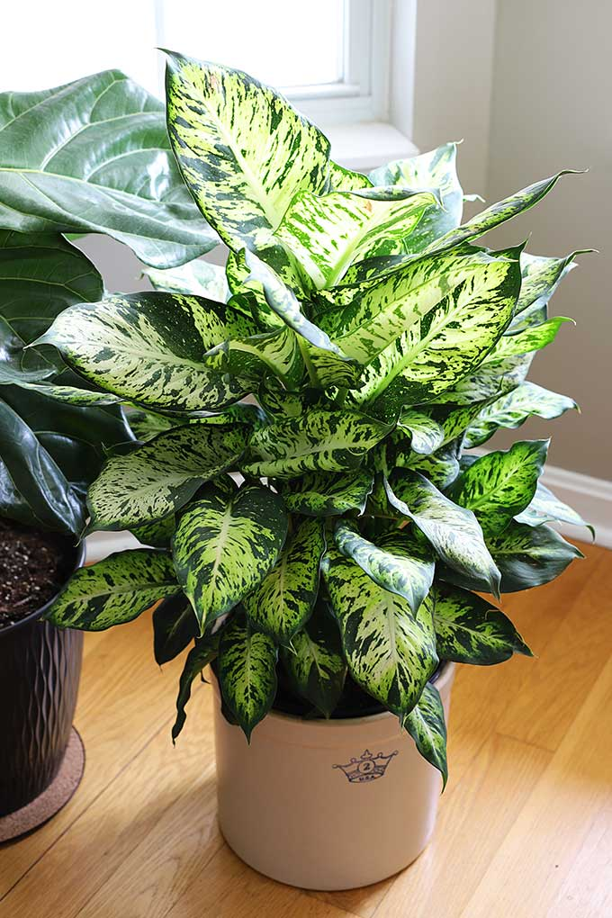 Dieffenbachia care and tips