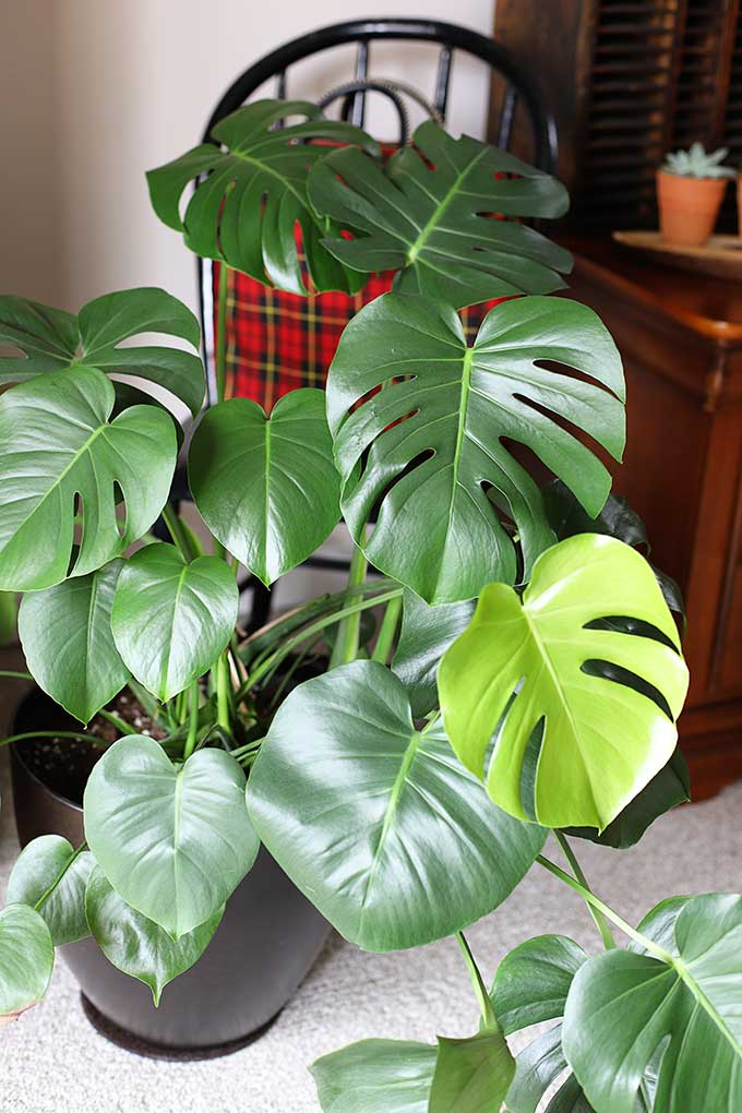 How to grow Monstera plant