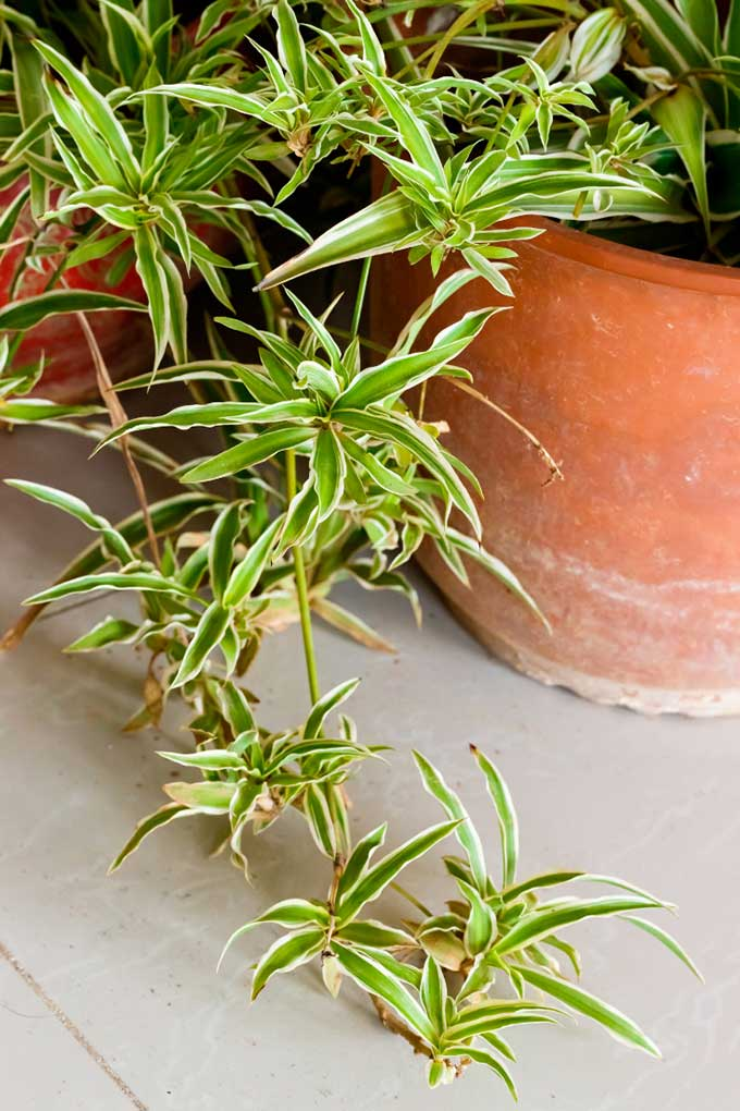 How to care for spider plant