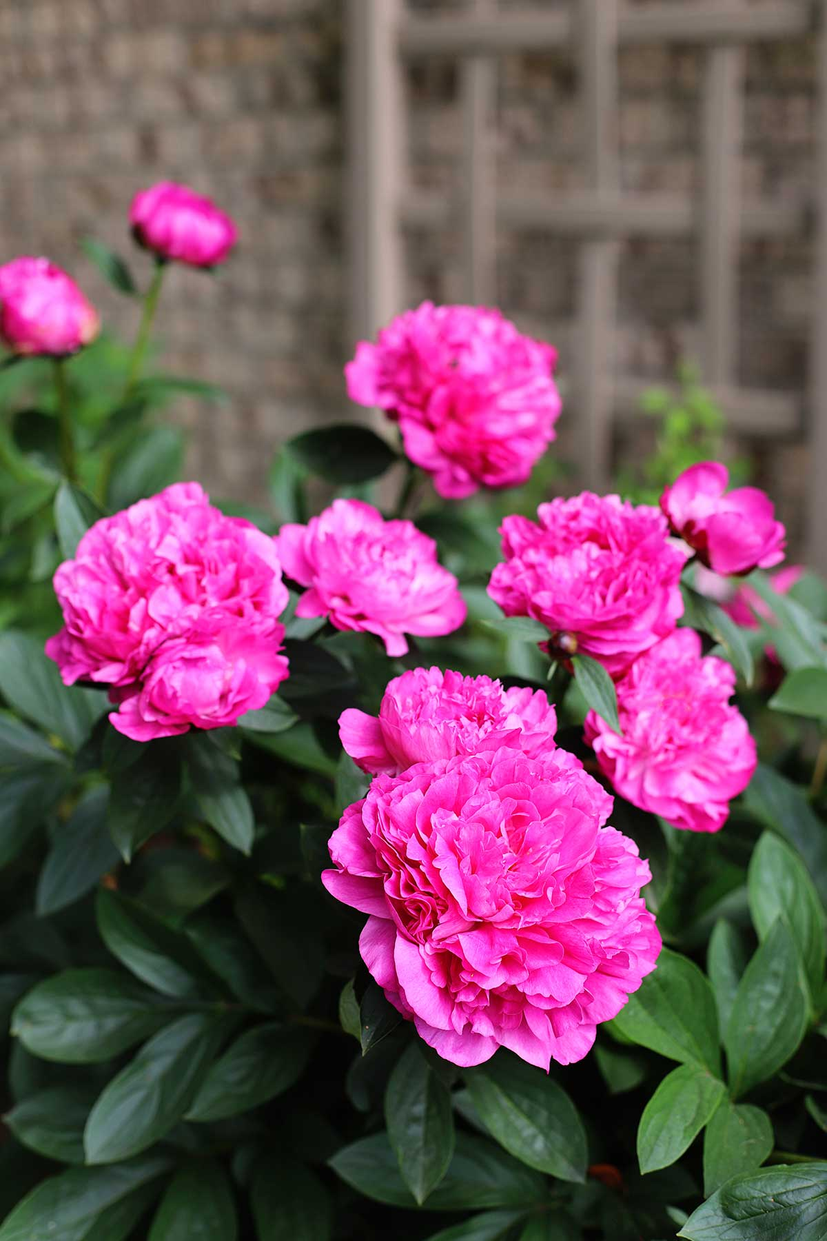 Caring for your peony bush - tips and tricks.