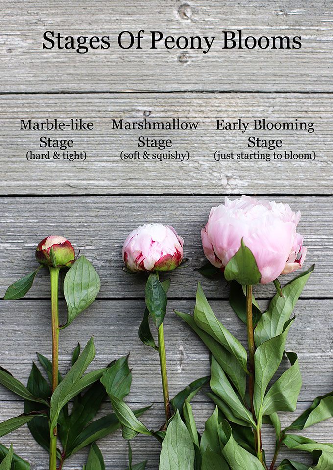 stages of peony blooms