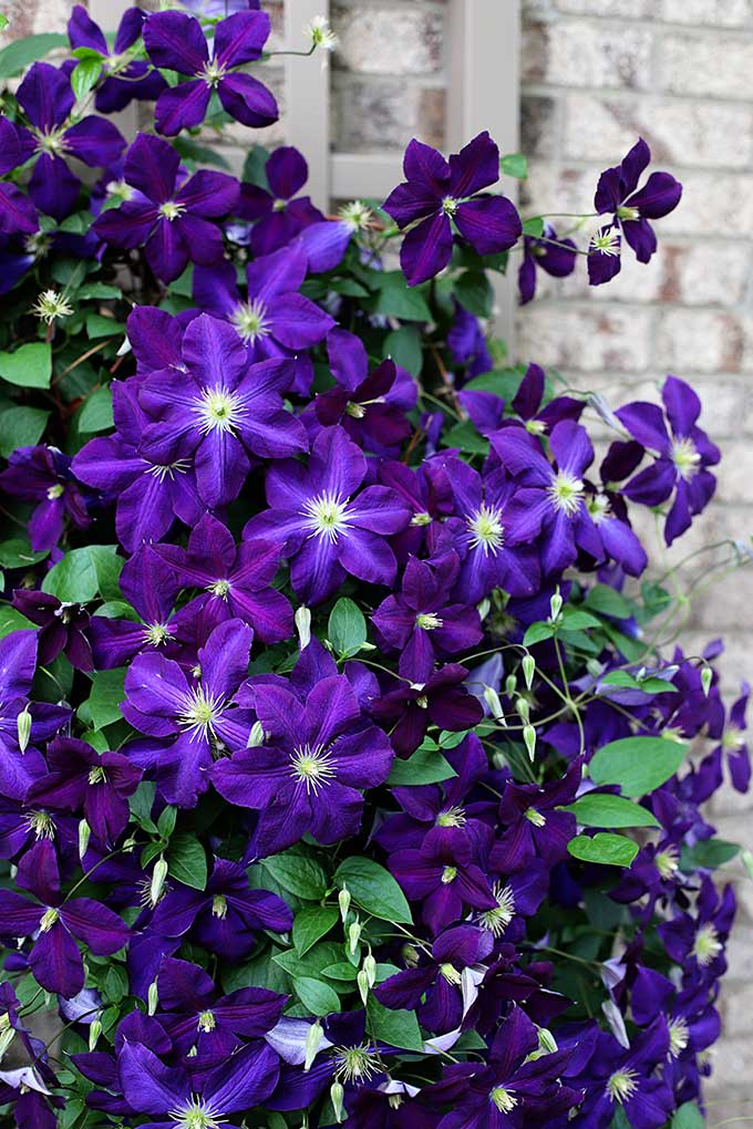 Growing clematis in your garden