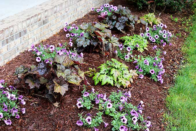 Coral Bells, Foamflower and Supertunia Bordeaux planted in the flower bed