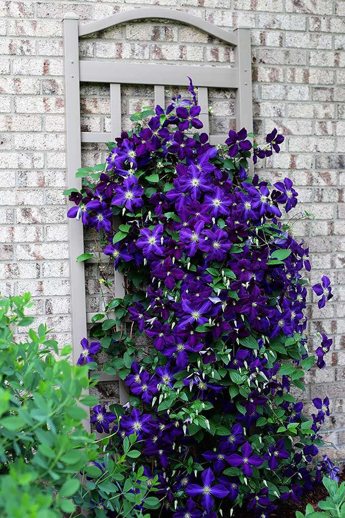 Tips for growing clematis
