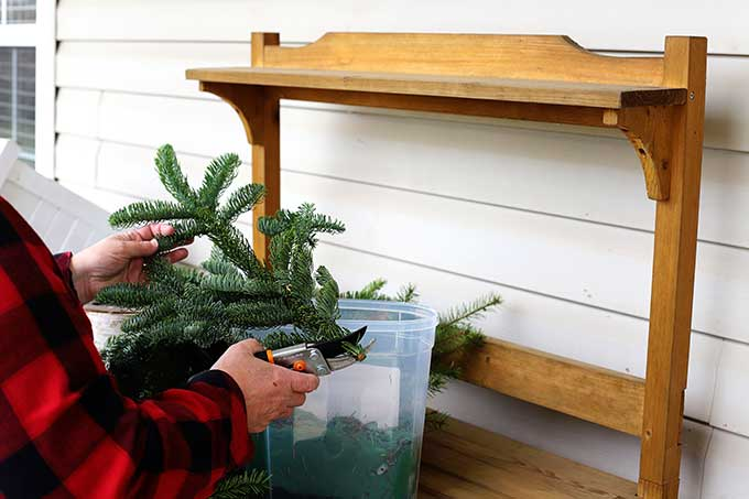 pruning pine branches for holiday arrangement