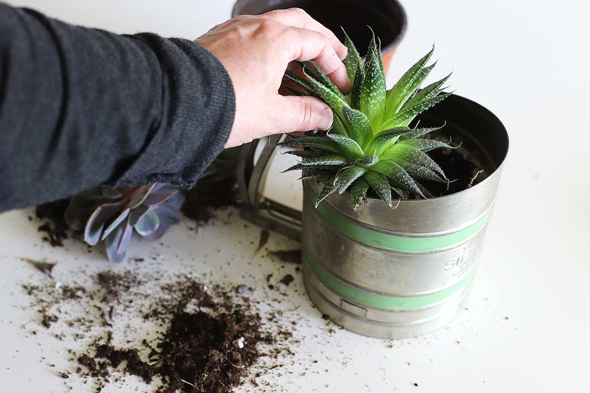 planting succulents in flour sifter