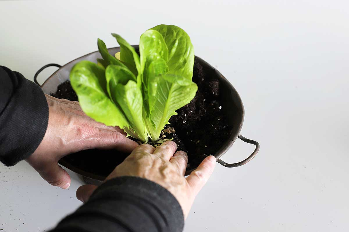 planting lettuce in kitchen colander