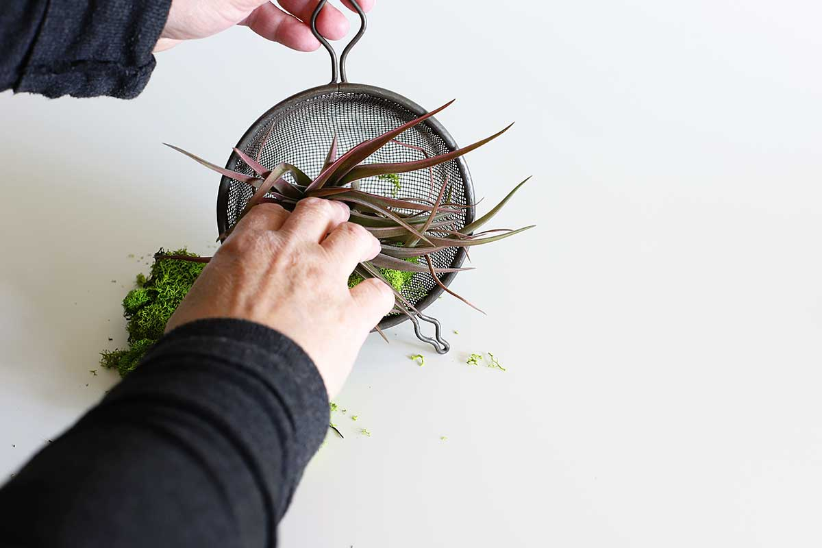 putting air plant holder in kitchen strainer