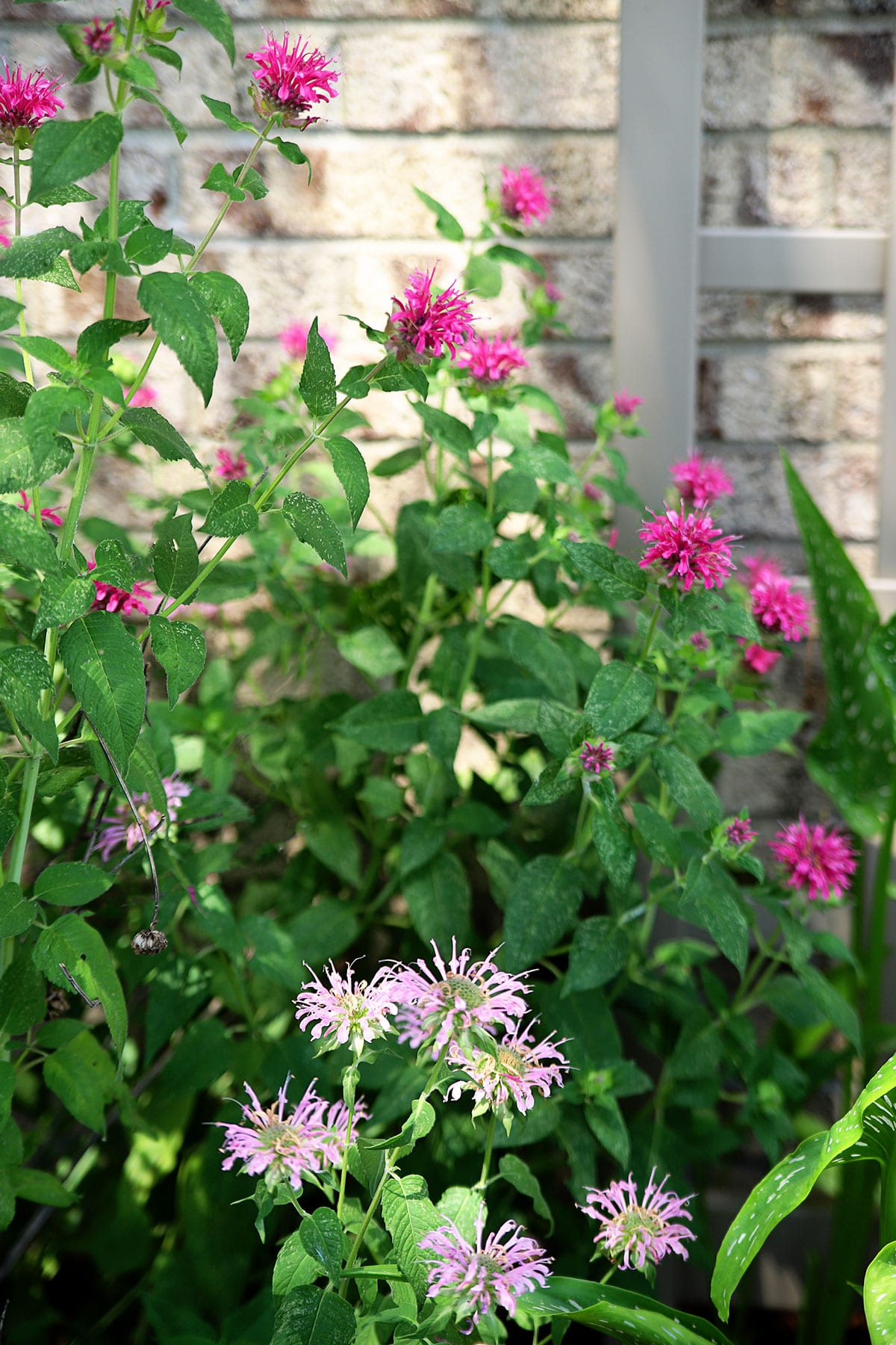 growing bee balm in the perennial garden