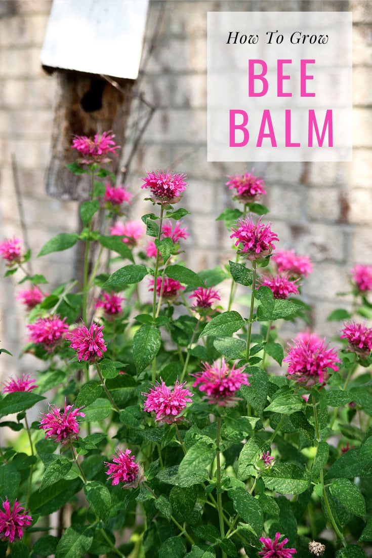 How to grow Bee Balm