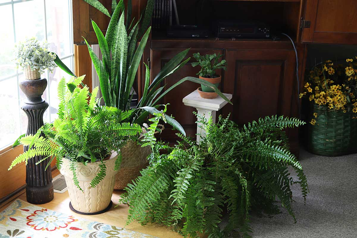 indoor plants | ferns and snake plant sitting on floor
