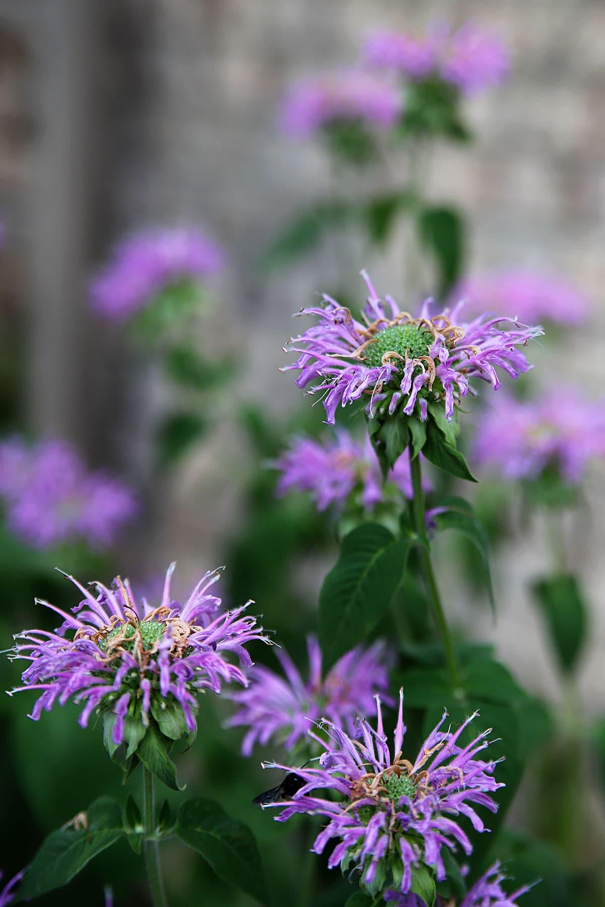 Bee balm - Monarda fistulosa