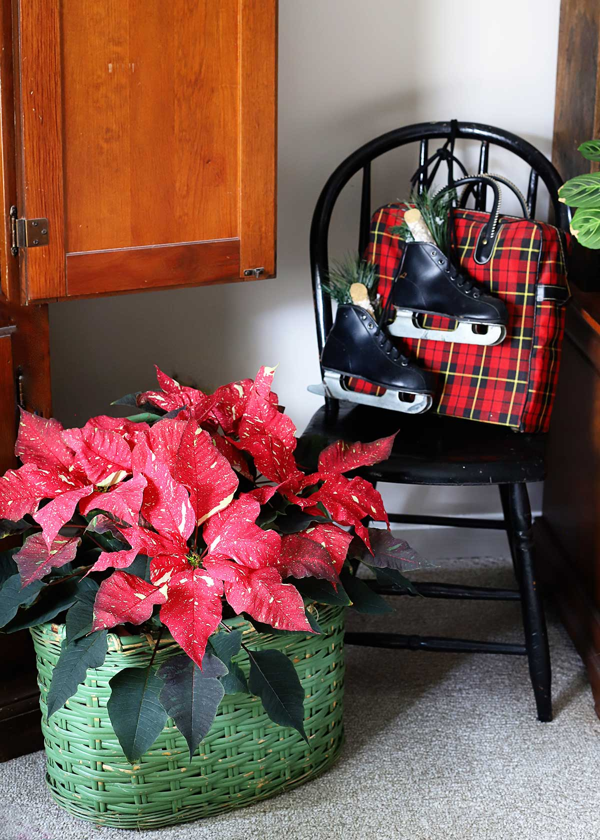 red poinsettia in a green basket and ice skates hanging on a chair