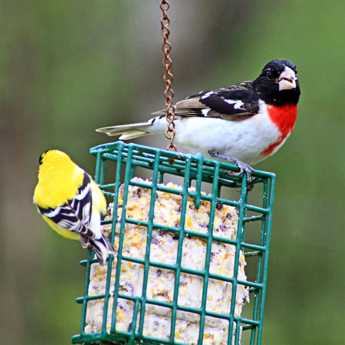 two birds sitting on suet cake