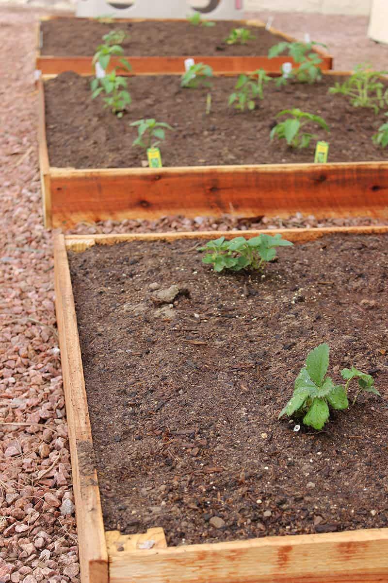 DIY raised planter beds made with cedar