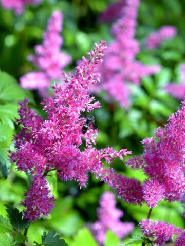 best shade loving perennials - bright lavender astilbe
