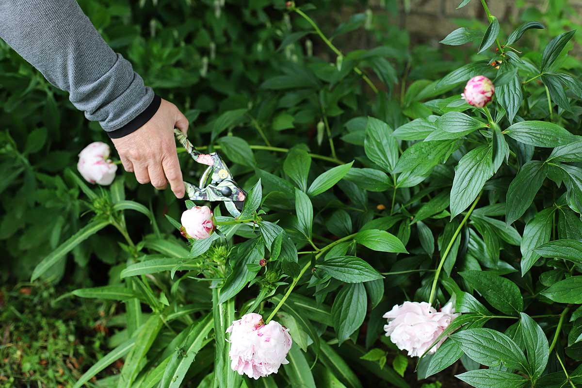 cutting peonies in the garden with floral patterned garden shears