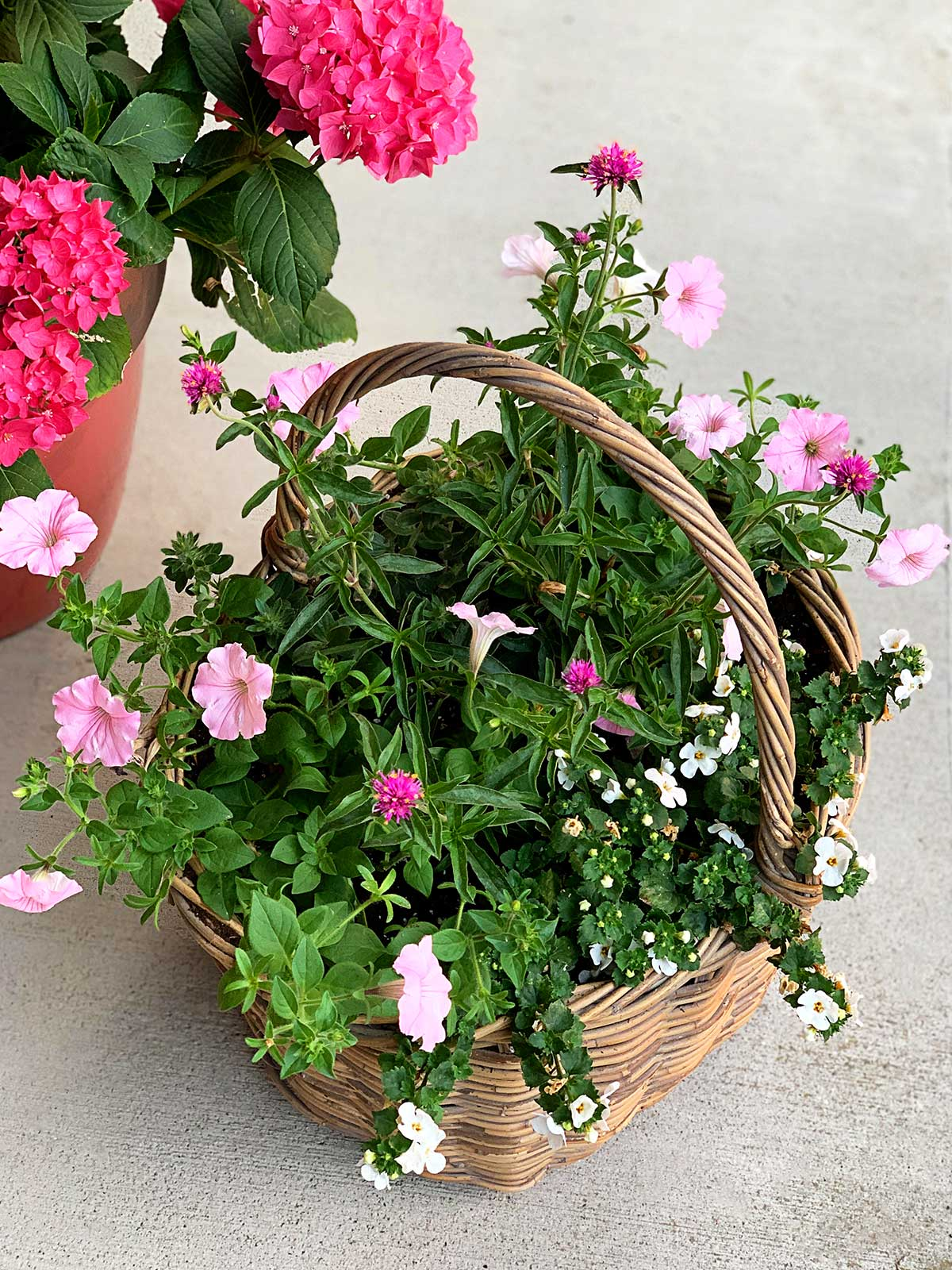 Gomphrena, Supertunia, Dwarf Morning Glory and Bacopa mixed container planted in a thrift store basket.