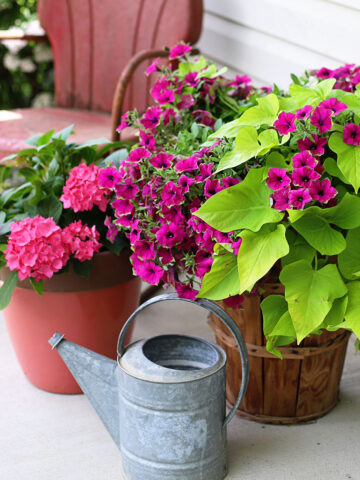 Plant combinations for container gardens.