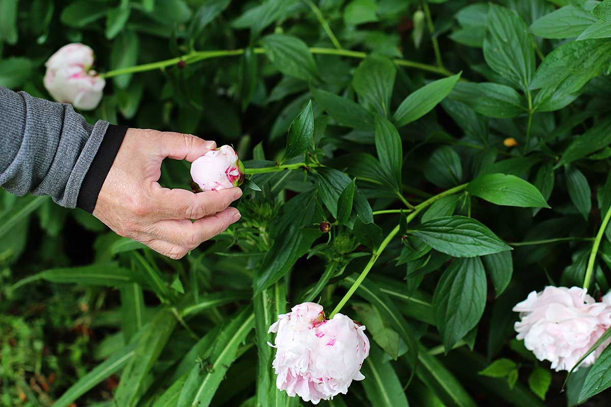 Woman squeezing a peony bud to see if it is in the marshmallow stage of development.