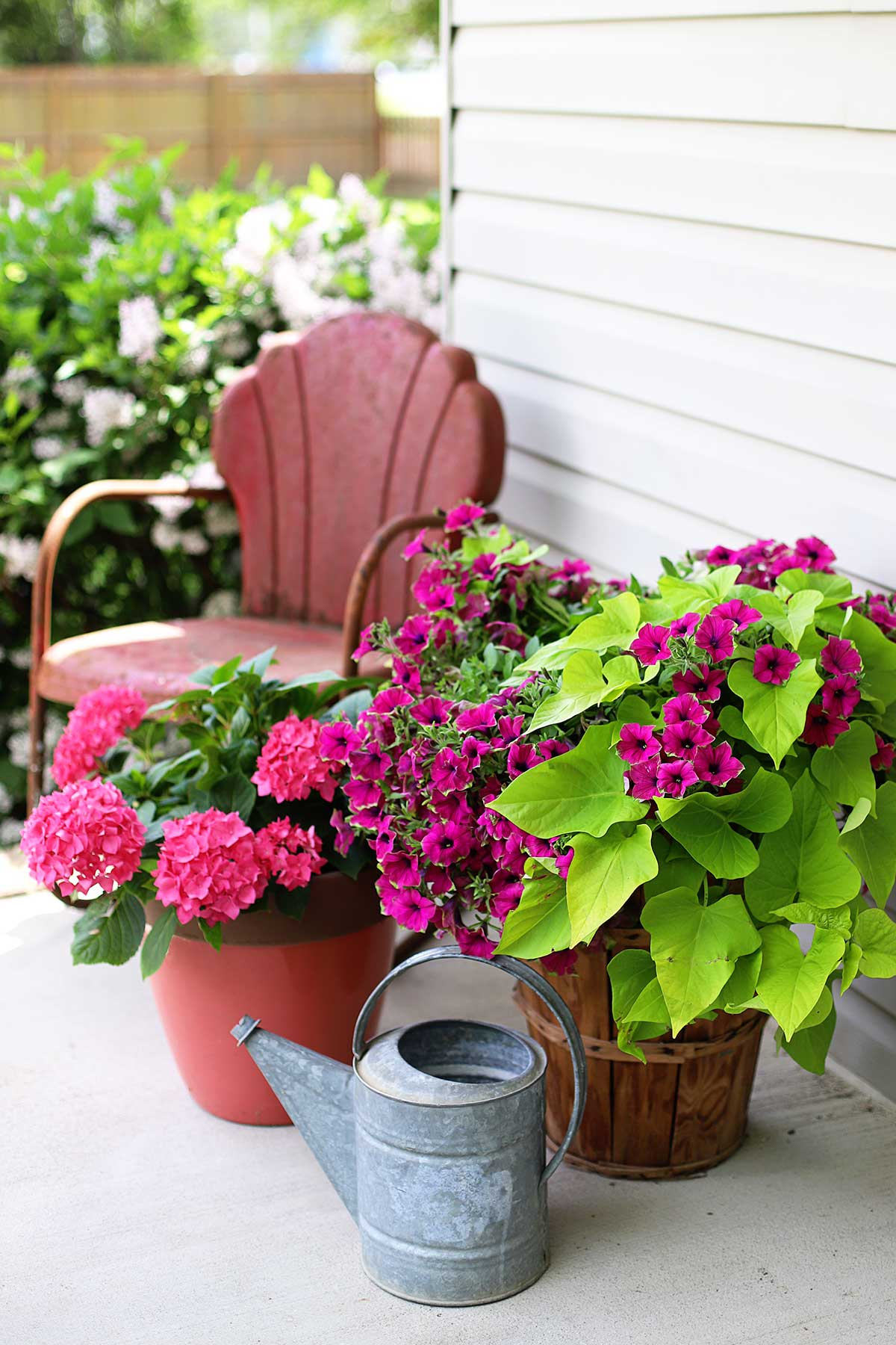 Using chartreuse potato vine and petunias in a combination planter.
