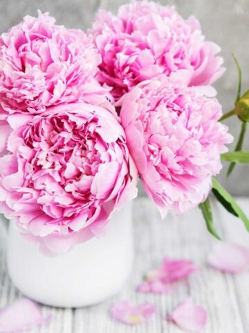 How to store peonies - pink peonies in a vase setting on a white wooden table.