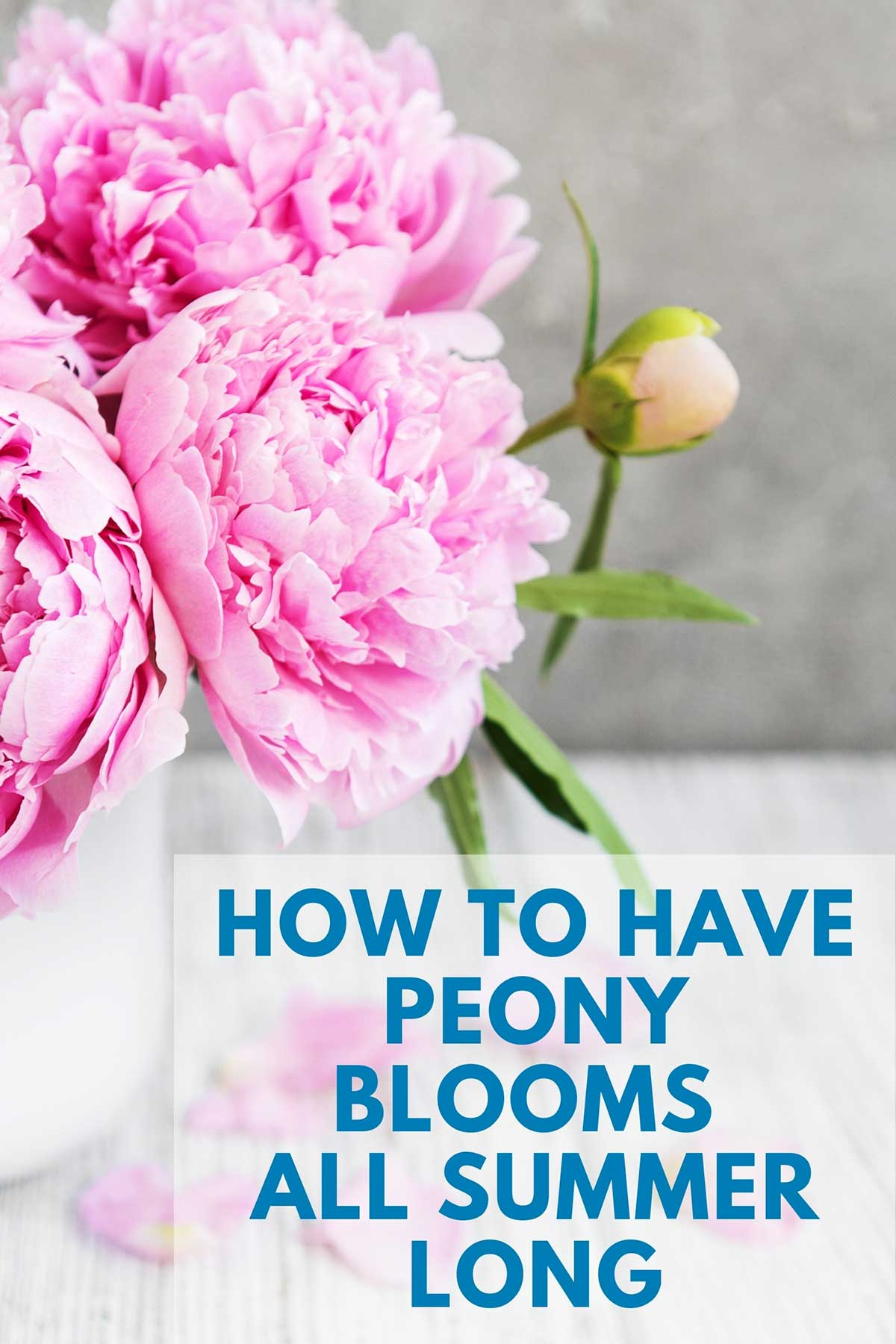 Pink peonies in a vase with a white background.