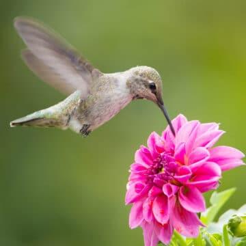 Hummingbird in flight feeding on flower.