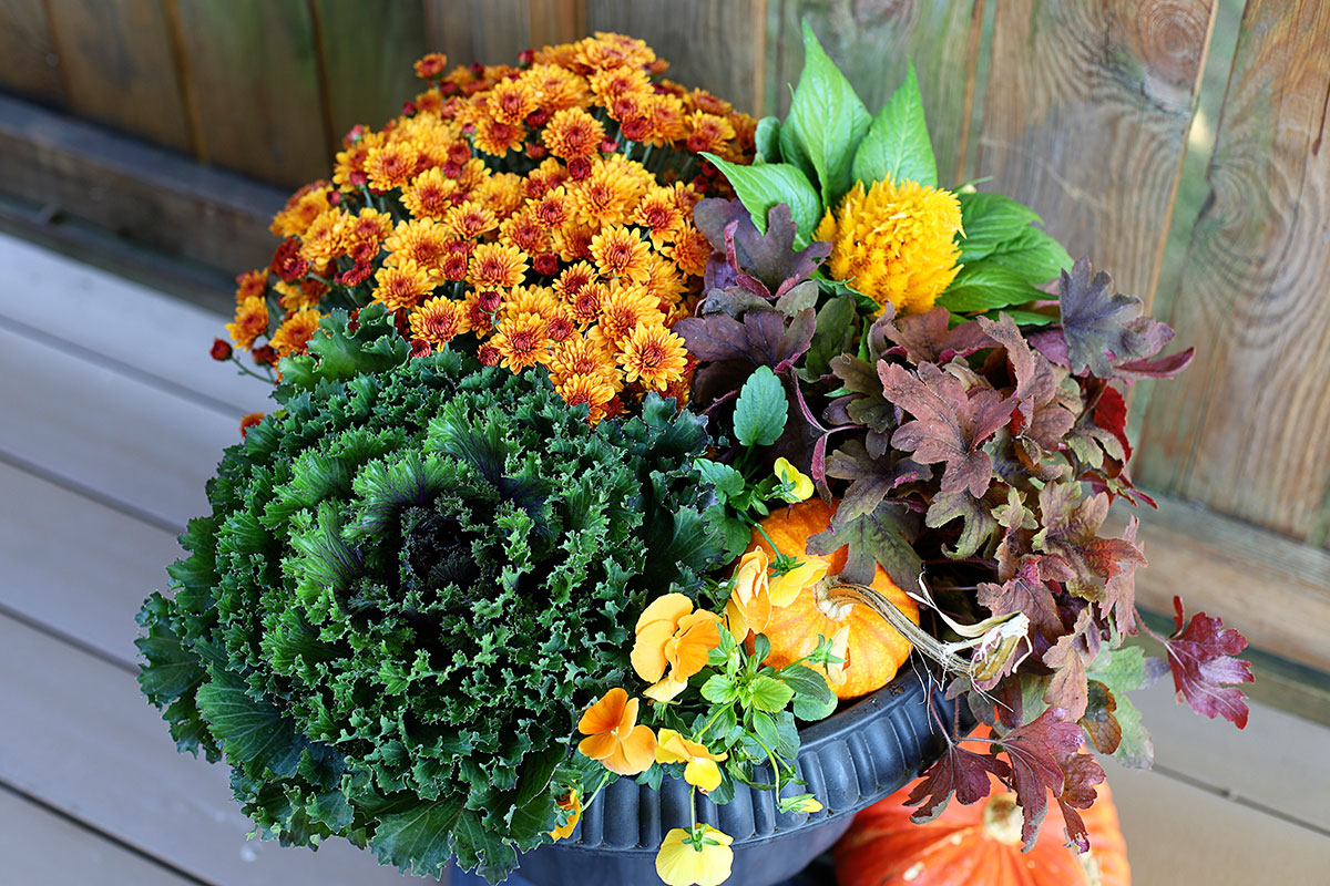 Beginner friendly porch planter for fall including mums, cabbage, coral bells and pansies.