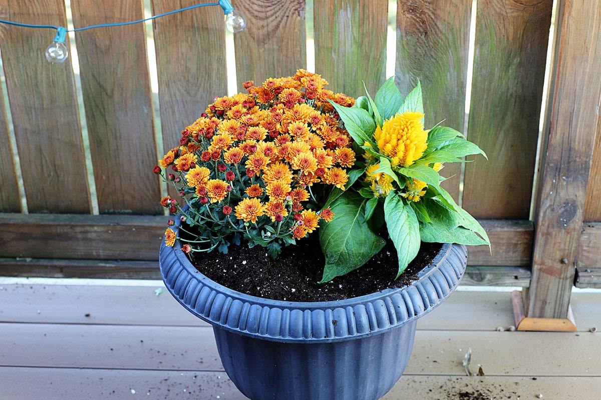 Planting the yellow celosia in a fall container.