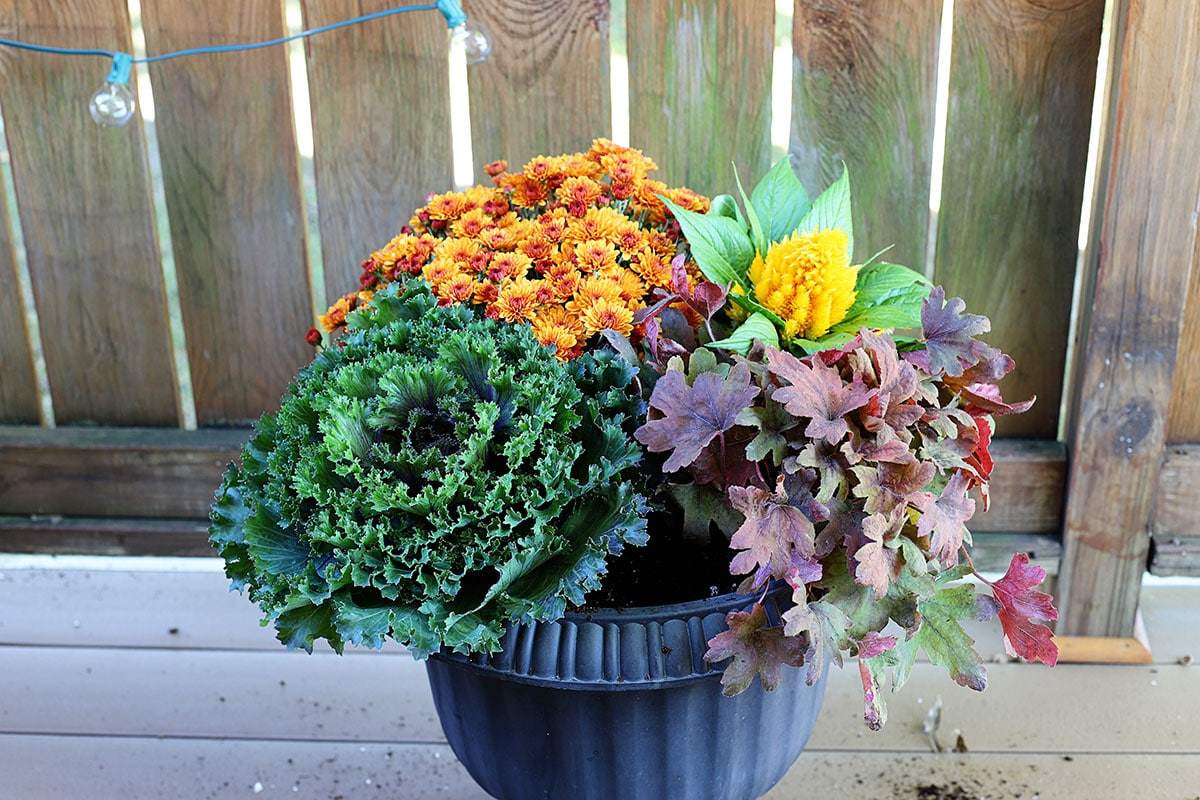 Planting coral bells in a fall container.