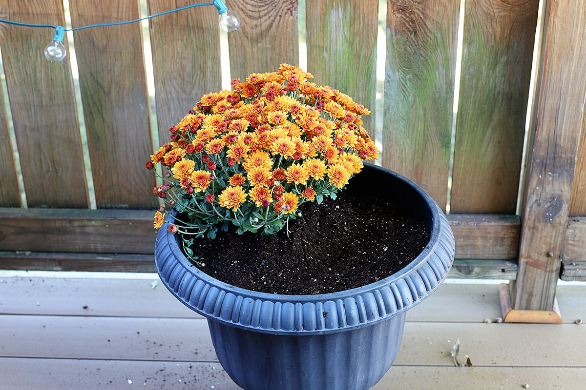 Planting an orange mum in a fall container.