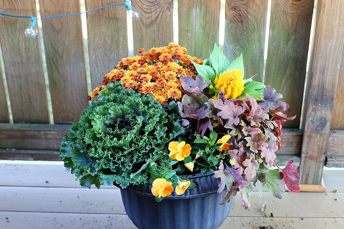 Planting orange pansies in a fall container.